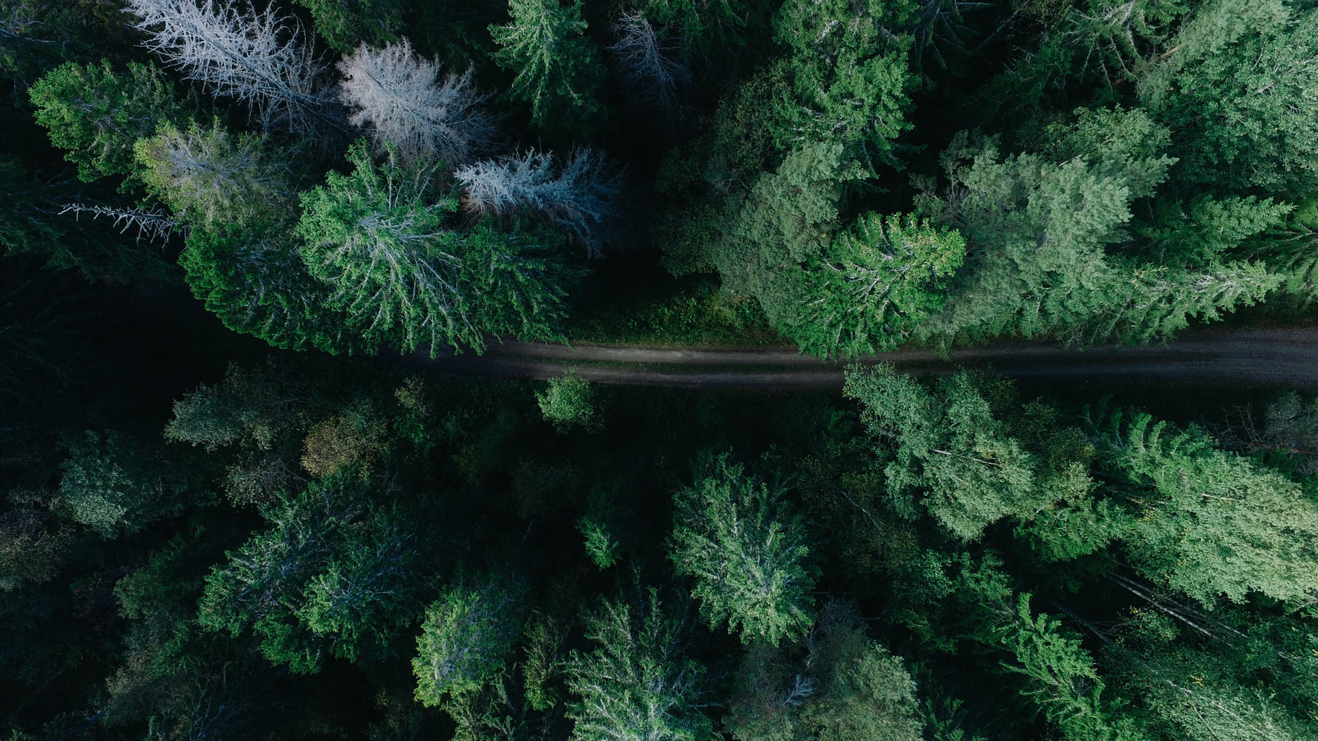 Drönarbild på en skogsväg med granar runt om.