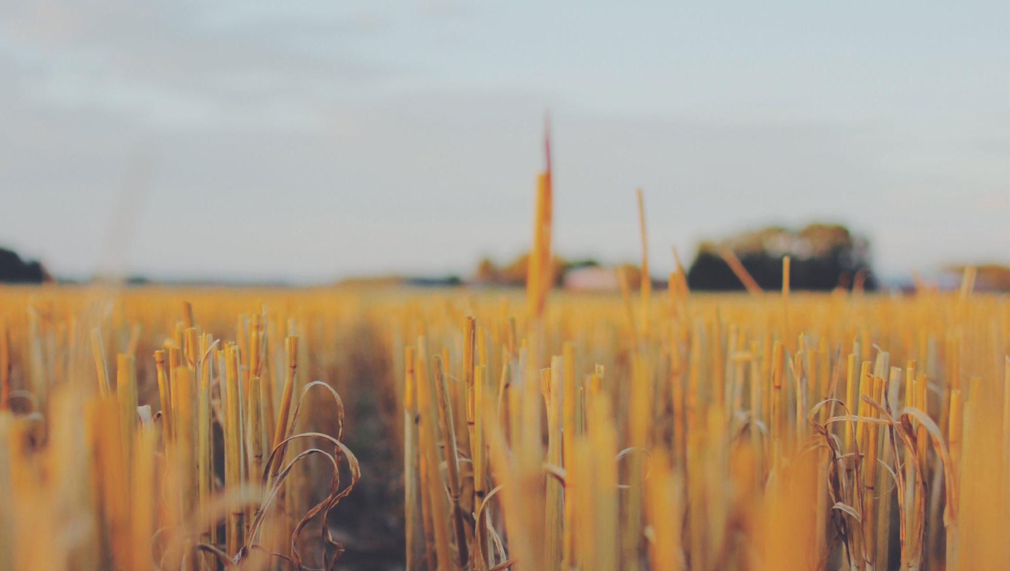 Närbild på ett sädesfält.
